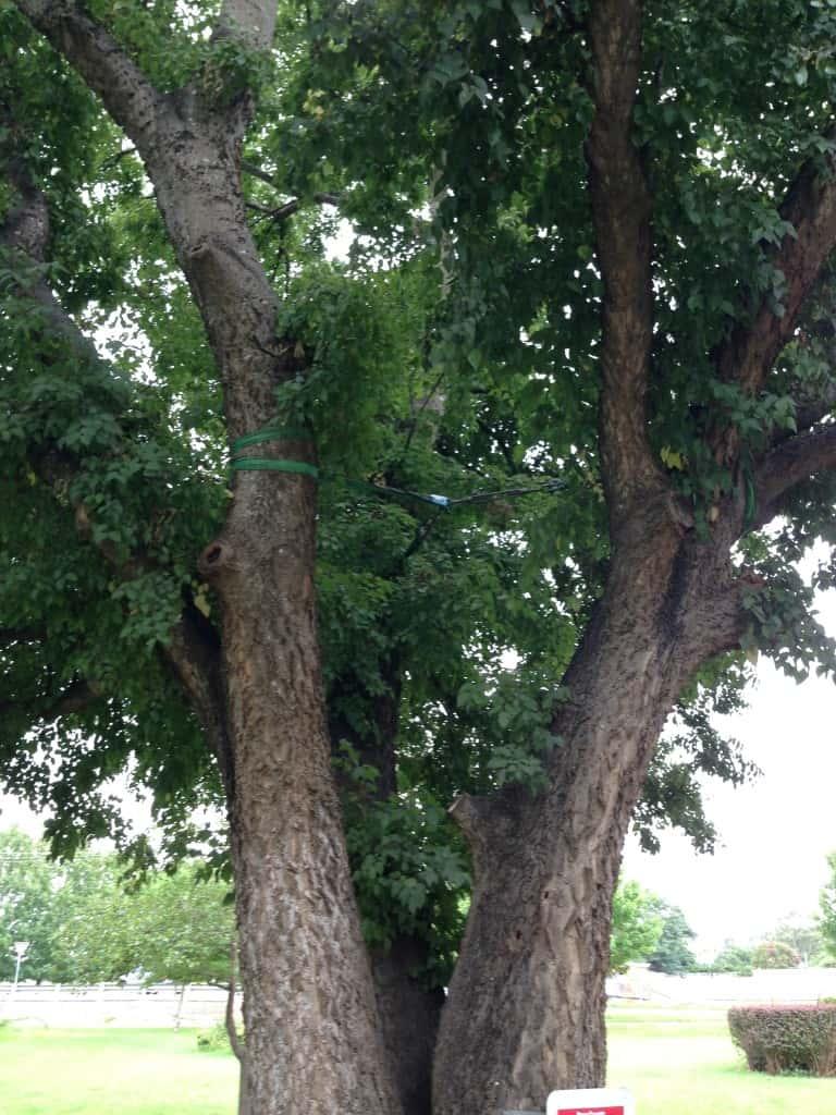 Tree Bracing Sydney